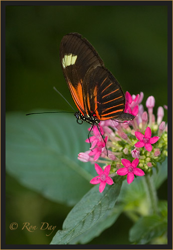 Butterfly (Heliconius) on Penta